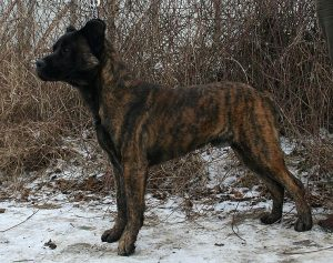 Cão de Fila